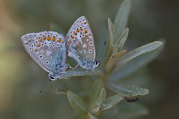 Icarusblauwtjes van Dick Vermeij