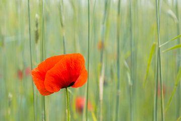 Mohn im Getreidefeld von Andre Brasse Photography