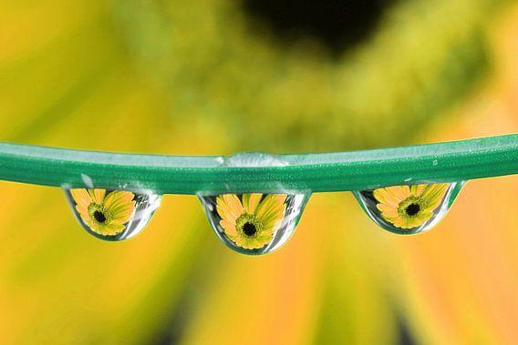 Triplet Gerbera (geel)