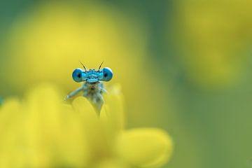 Libelle in gelb. von Francis Dost