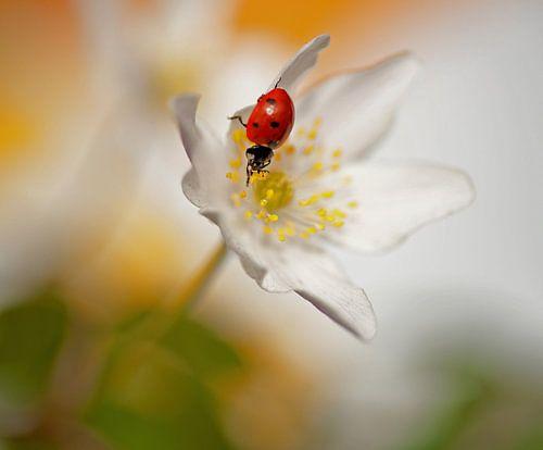 Lieveheersbeestje op een bosanemoon van