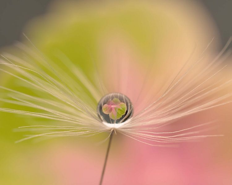 paardenbloempluis, waterdruppel,  pastel, reflectie, dandelion, hortensiabloem, van Anne Loos