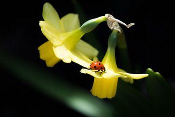 Lieveheersbeestje op narcis. van Marco de Graaff