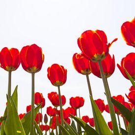Rij  rood bloeiende tulpentegen lichte achtergrond van Henk van den Brink