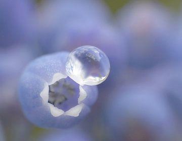 Soft Blue van Caroline Lichthart