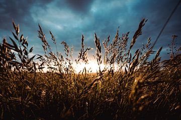 L'herbe à l'or sur Wahid Fayumzadah