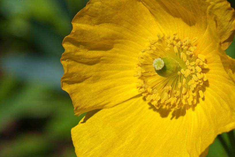 Gele bloem van Pieter van Roijen