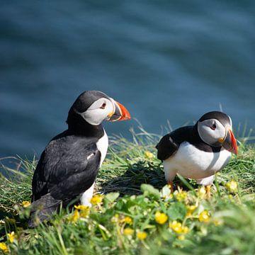 Papegaaiduikers op Staffa, Schotland van Erik Snoey
