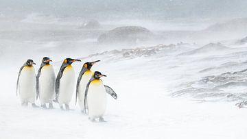 Fünf Königspinguine im Schnee von Jos van Bommel
