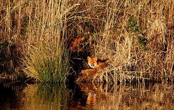 vosjes aan de oever bij water natuur van Alfred Stenekes