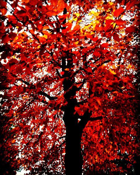Vlammenboom van mimulux patricia no