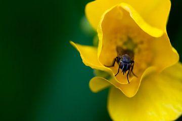 Fliege in gelber Blume von Anita van Hengel