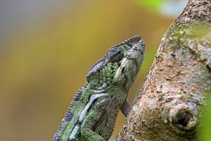 Panterkameleon von Antwan Janssen