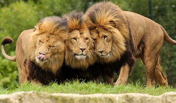 les frères lions câlins sur Loes Valckx