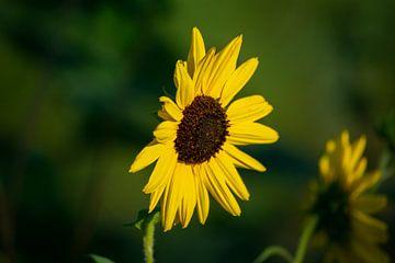 Zijaanzicht zonnebloem van Eugenlens