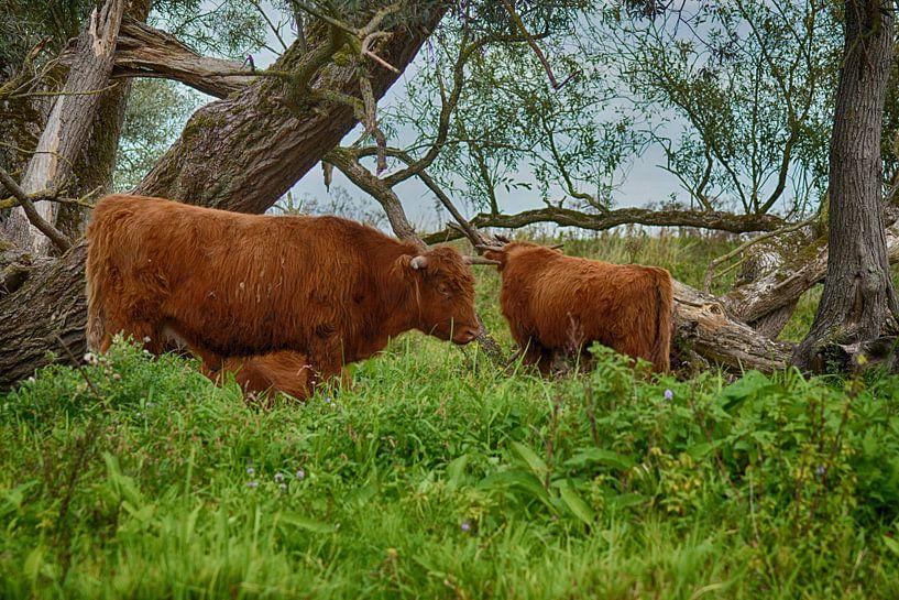 Hooglanders in de Biesbosch van Hanneke Duifhuize