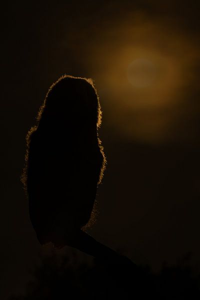 Jonge Ransuil tijdend ondergaande zon van Freddy Van den Buijs