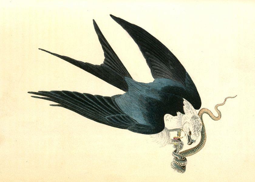 Havik, Swallow-tailed Hawk., Audubon, John James, 1785-1851 van Liszt Collection