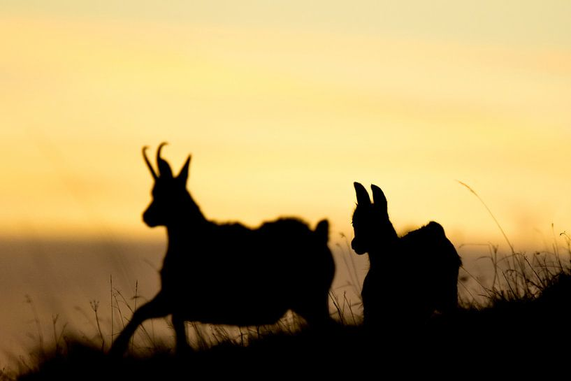 Spelende gemzen van Sam Mannaerts Natuurfotografie