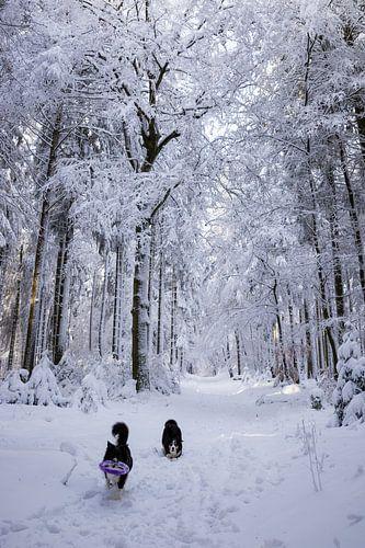 Border collies in de sneeuw