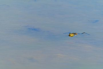 In einem See schwimmt ein Frosch ruhig mit dem Kopf aus dem Wasser von Matthias Korn