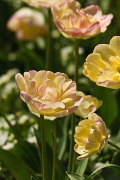 Hellgelbe Tulpen von Anja B. Schäfer