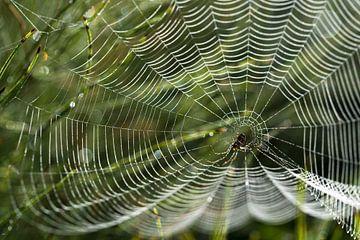 spinnenweb met dauwdruppels op een weiland in het ochtend achterlicht, tuinkruisspin (Araneus diadem van Maren Winter