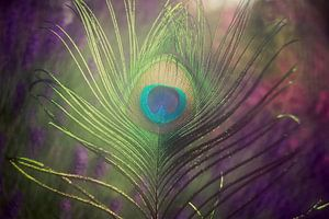 feather of a peacock van Els Fonteine