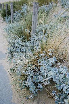 Blaue Seedistel und Gras 02 von Lisenka l' Ami Fotografie