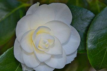 Een geel hart in de witte japanse roos van J..M de Jong-Jansen