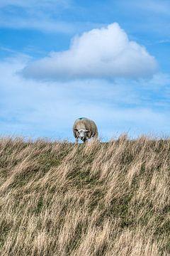 Schaf auf dem Koedijk bei Vijfhuizen von Harrie Muis