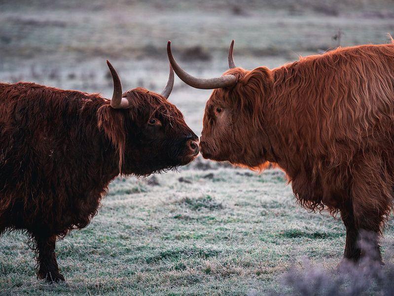 L'amour entre les Highlanders écossais sur Joren van den Bos