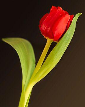 Rode tulp von Maren Oude Essink