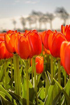 Tulips standing tall van
