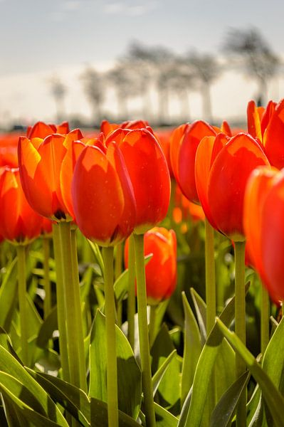 Tulips standing tall