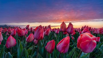 Dauwdruppels op de tulpen