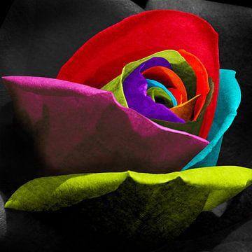 Roos veelkleurig contrast van Color Square