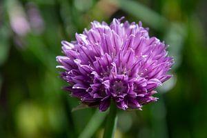 Schnittlauch Blume lila von Ton van Waard - Pro-Moois