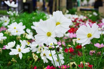 witte bloemen van Gerrit Neuteboom