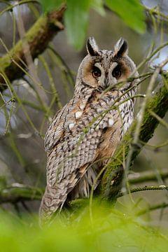 Waldohreule ( Asio otus ), Altvogel sitzt versteckt in einem Baum, schaut direkt in die Kamera, Auge von wunderbare Erde