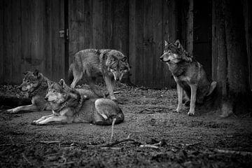 Zwart wit foto van wolven van Abi Waren