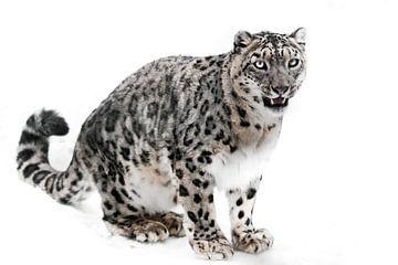 Het sneeuwluipaard is een krachtig roofdier in de winter tegen de achtergrond van sneeuw. Witte acht van Michael Semenov