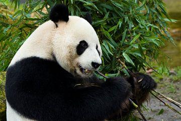 reuze panda aan het eten van Berdien van Drogen