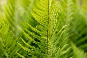 Bohemian Style, grüne Farne, Fine Art Foto mit botanischer Kunst von Karijn | Fine art Natuur en Reis Fotografie