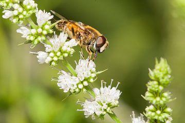 Macro van zweefvlieg op witte bloem von Henk van den Brink