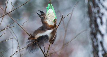 Squirrel wants food van