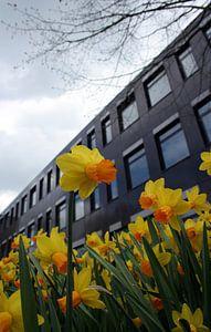 narcis in bloei van