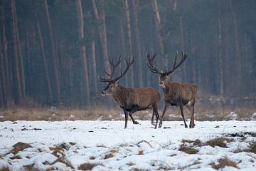 Edelherten in het Nationaal Park de Hoge Veluwe von Evert Jan Kip