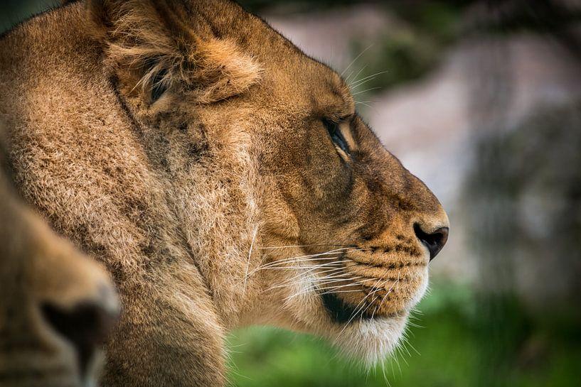 Close up van een leeuwin van Kim Bellen