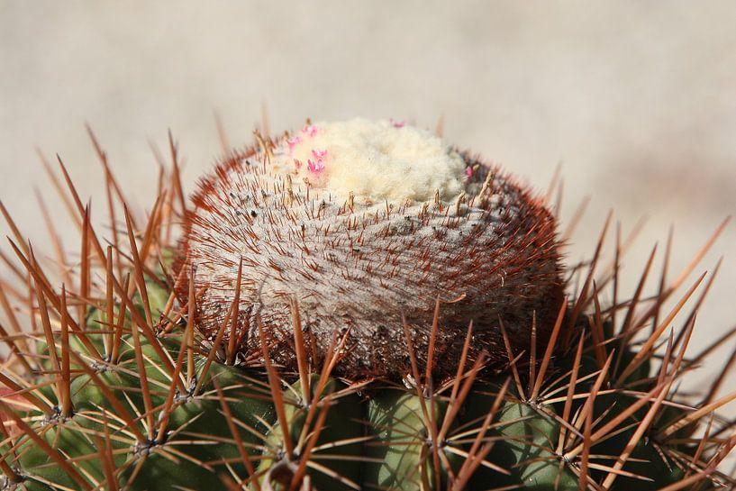 cactus cactussen melocactus van Frans Versteden